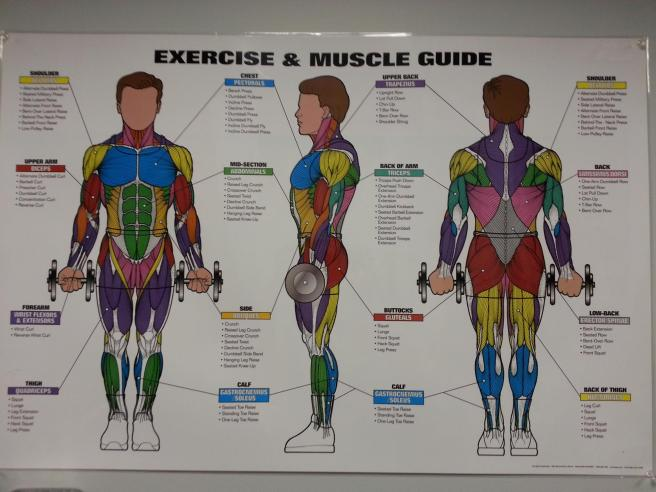 muscleexercise